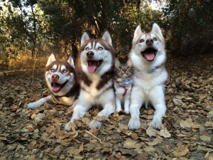 rosie-lilo-huskies.jpg.653x0_q80_crop-smart